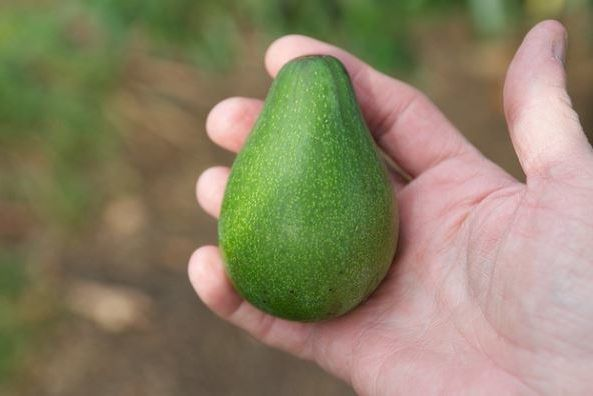Авокадо: польза для женщин, состав, масло авокадо, при похудении